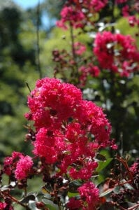 Pink Velour Crapemyrtle
