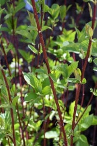 Bailey Red-Twig Dogwood
