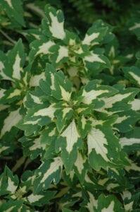 Coleus annuals