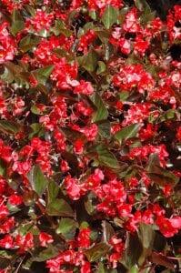 Whopper Begonia