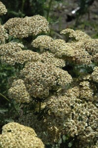 Citronella Yarrow