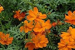 Cosmos 'Cosmic Orange'