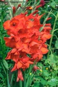 Gladiola Summer Flowering Bulb