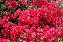 Cherry Dazzle Crapemyrtle flowers