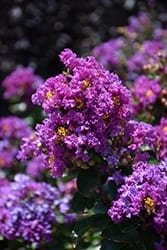 Purple Magic Crapemyrtle