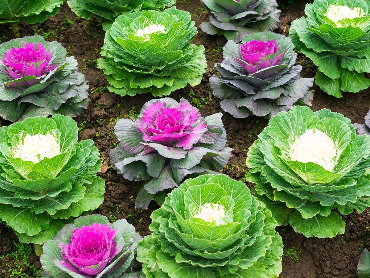Ornamental Fall Cabbage