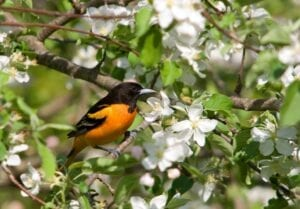Attract North Orioles to Your Garden