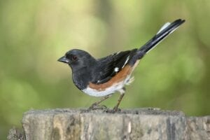 Rufous Sided Towhees