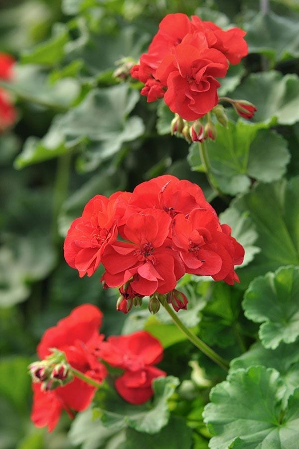 Flowering Annuals for Your Long Island Garden