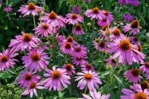 Perennial Coneflower