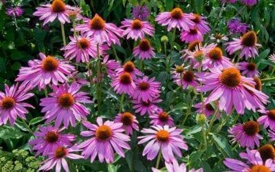 Drought Tolerant Perennials for Your Garden