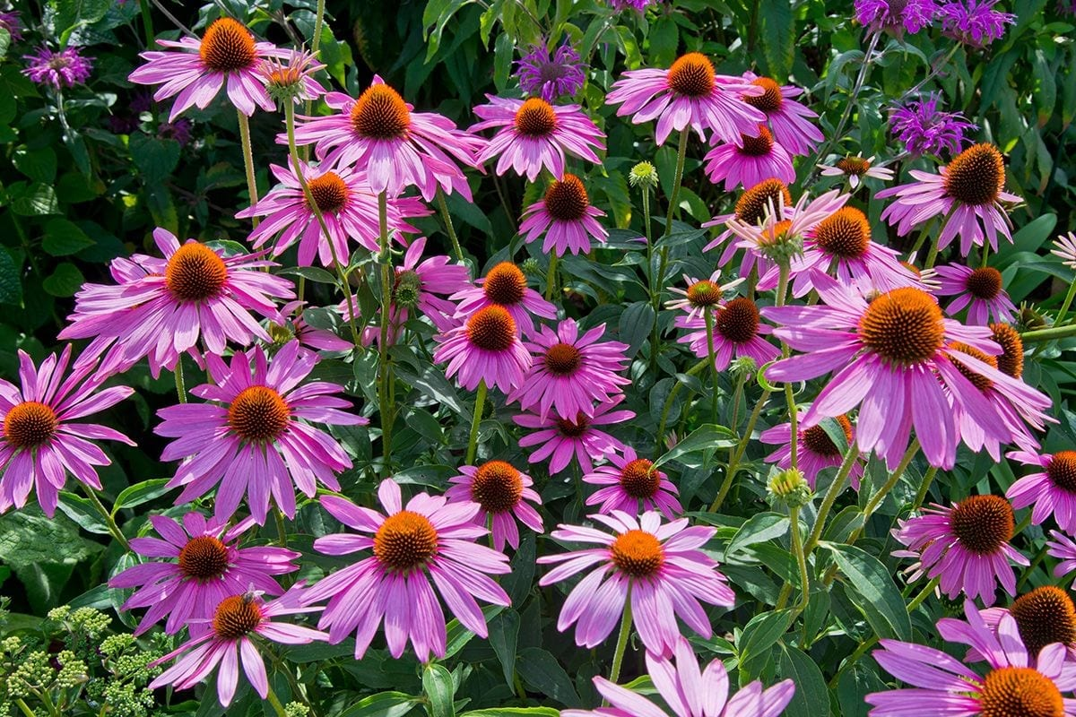 Drought Tolerant Perennials for Your Garden