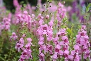Flowering Angelonia