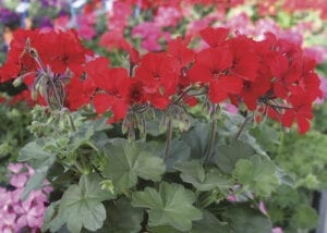 Flowering Annual Caliente Geranium