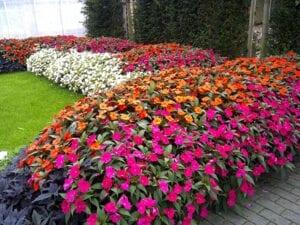 Flowering Annual
