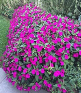 Bounce Impatiens A Flowering Annual for Sun