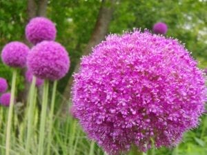 Allium Spring Flowering Bulb