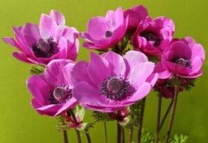 Anemone Spring Flowering Bulb