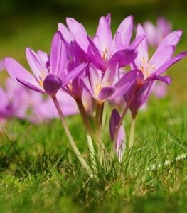 Spring Flowering Crocus