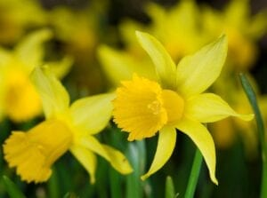 Daffodil Spring Blooming Bulbs