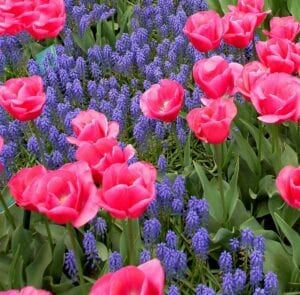 Pink Tulips and Purple Muscari Spring Flowering Bulbs