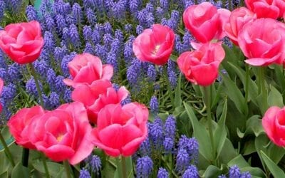 When to Plant Spring Blooming Bulbs