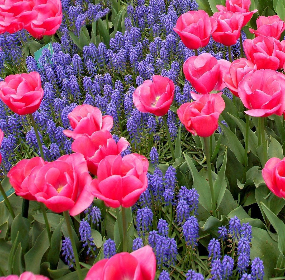 Pink Tulips and Purple Muscari Spring Flowering Bulbs