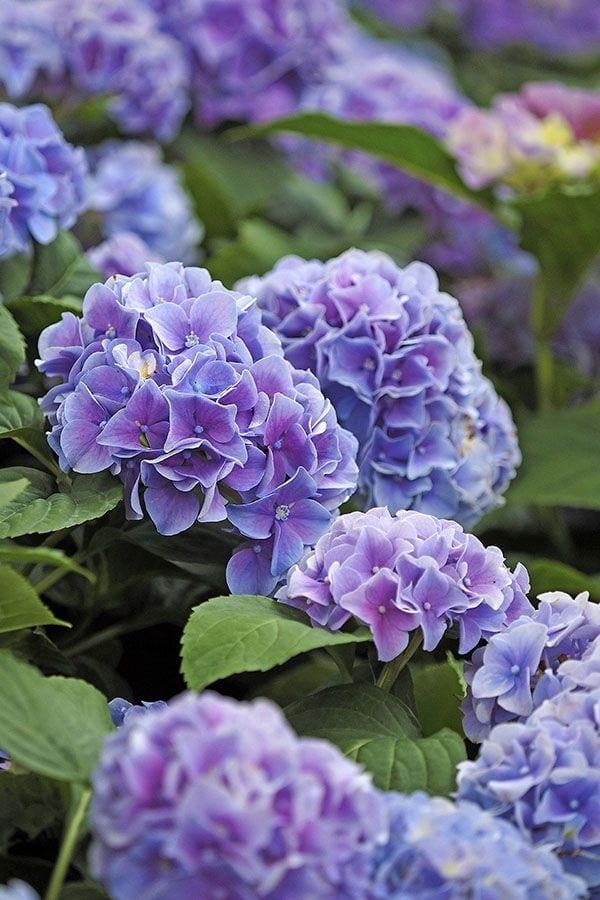 When Do I Prune My Hydrangea?