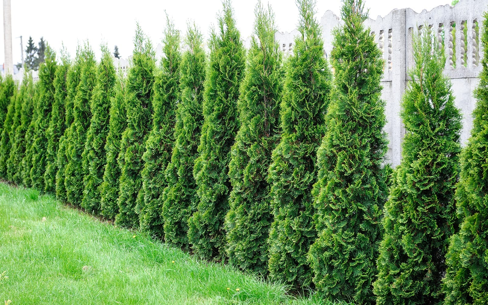 Tall Privacy Tree lined Fence