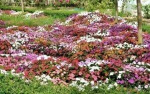 Downy Mildew Impatiens flowers Landscape Design