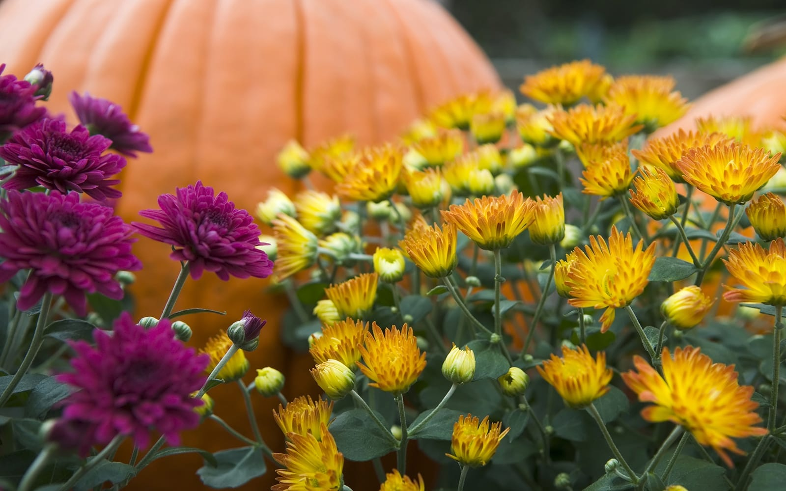 Fall Plants and Pumpkins