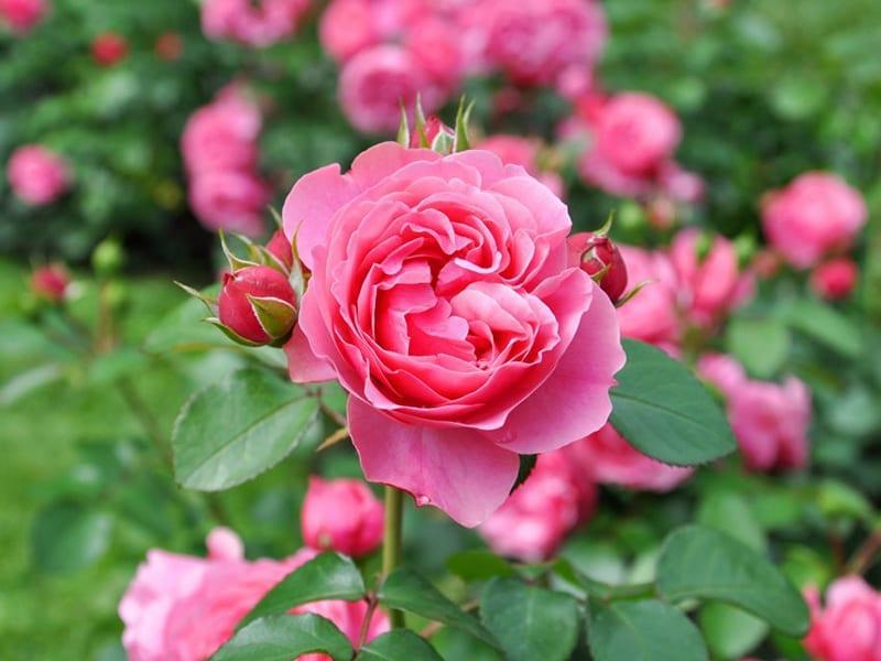 garden roses for sale on long island