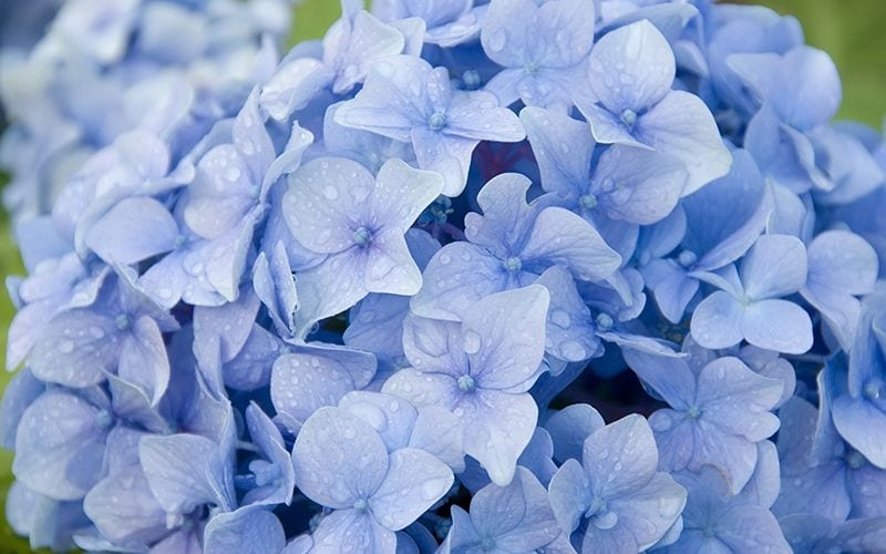 Blue Hydrangea Make a Great Mother's Day Gift