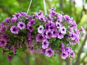 Purple Petunia Hanging Basket