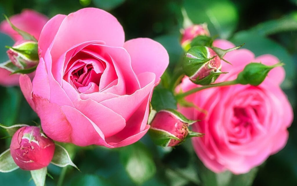 Flowering Garden Roses Make a Great Mother's Day Gift