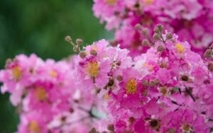 crape myrtle garden flowers