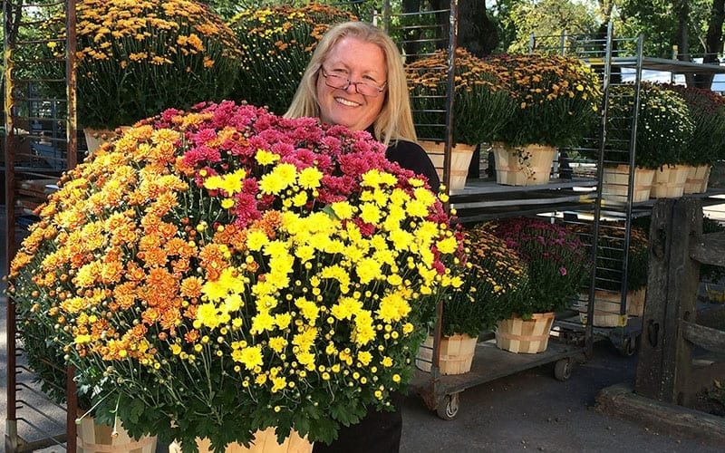 Fall Colored Mums