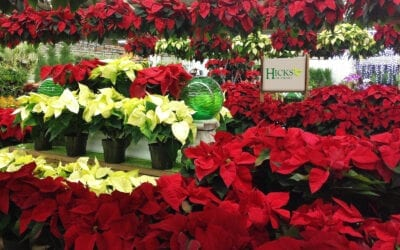 Facts about Poinsettias