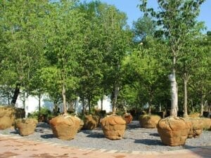 Balled and Burlapped Trees and Shrubs