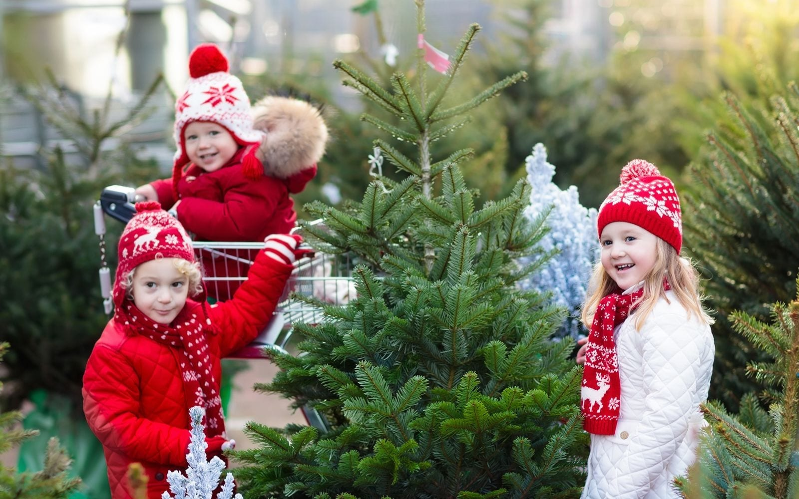 How To Care For Your Real Christmas Tree Hicks Nurseries