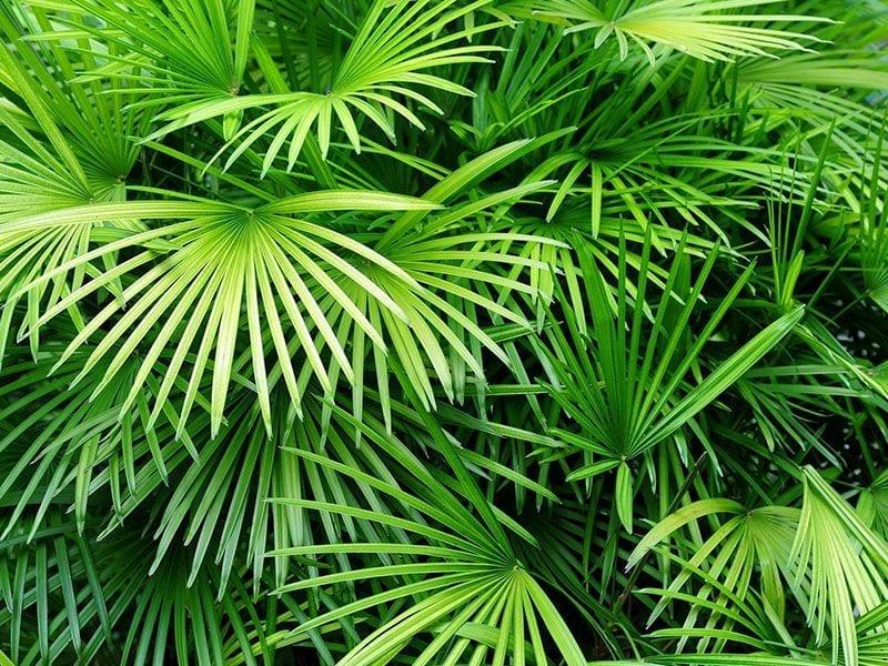 Large Foliage Palm Plants