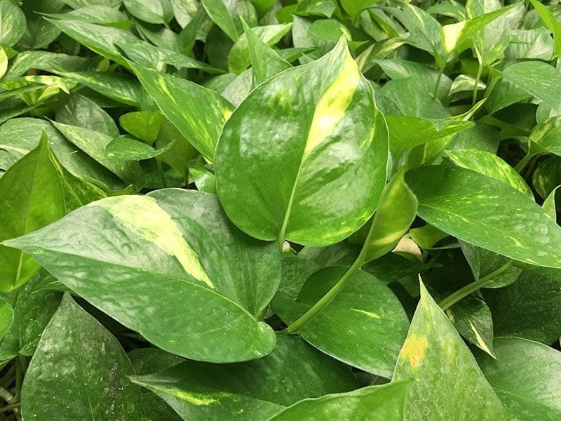 Aglaonema Houseplants
