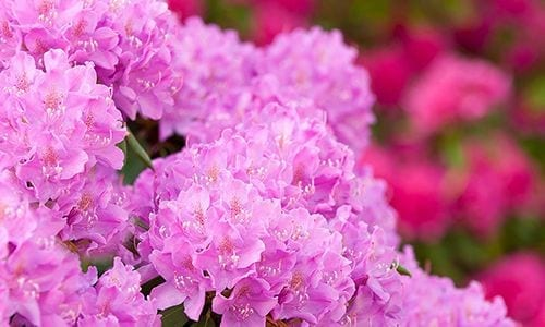 Beautiful Pink Flower Bush