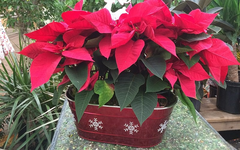 Poinsettia in a planter