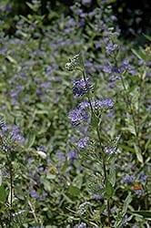 Blue Beard flowers