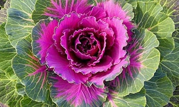 Purple Ornamental Cabbage