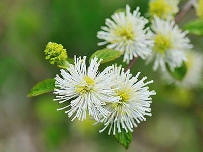 Fothergilla Flowers